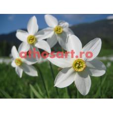 Narcise cod E64